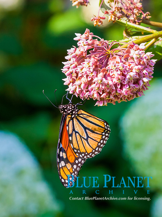monarch butterfly, Danaus plexippus, feeding on nectors of milkweed, Asclepias sp., Glenview, Illinois, USA