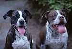 Two pit bull terriers panting looking at camera in backyard Lynnwood Washington State USA