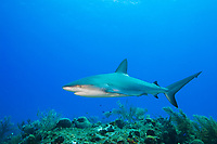 Caribbean Reef Shark, Carcharhinus perezii, over coral reef, West End, Grand Bahamas, Atlantic Ocean