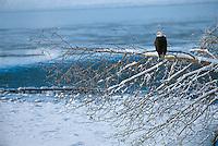 Bald Eagle on snow covered branch over the Chilkat River in Chilkat Bald Eagle Preserve.