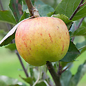 Apple 'Fillingham Pippin', mid September. An English dessert apple thought to have been raised in the 19th century by a Yorkshire carter named Fillingham.