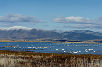 Greater White-fronted Geese and Tundra Swans, Lower Klamath NWR, Oregon/California.  Feb-March.