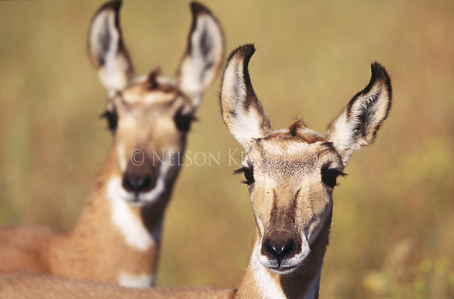 Pronghorn Antelope twin fawns in Montana