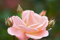 Rebecca Louise rose. Heirloom Gardens, Oregon