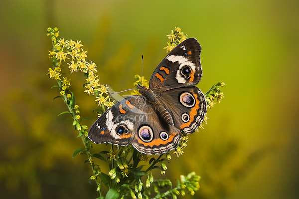 Common Buckeye butterfly (Junonia coenia) on goldenrod has bold eyespots to startle or distract predators and allow a quick escape.  Autumn, Ontario, Canada.
