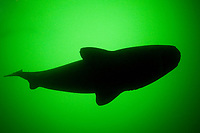 Greenland sleeper shark, Somniosus microcephalus, St. Lawrence River estuary, Quebec, Canada (this shark was wild & unrestrained; it was not hooked and tail-roped as in most or all photos from the Arctic)
