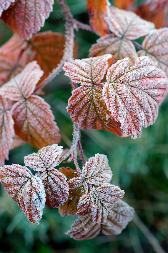 Early morning Hoar Frost on leaves in fall in Northern Minnesota