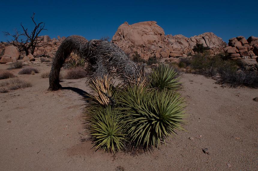 Joshua Tree (Yucca brevifolia), Willow Hole Trail, Wonderland of Rocks, Joshua Tree National Park, California, US
