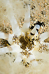 Anilao, Philippines; a large, white, brown and yellow  burrowing sea cucumber placing one tentacle in it's mouth at a time to feed off food particles collected in the water column