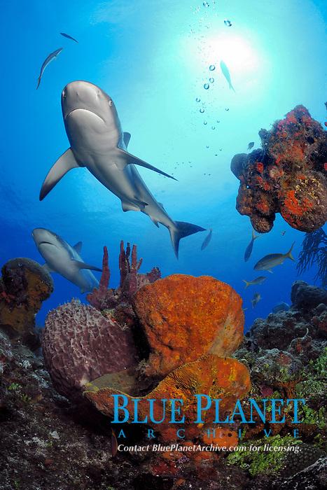 Gray reef sharks, Carcharhinus perezii, make pass over sponges on coral reef, Little Bahama Bank, Bahama Islands, Bahamas, Caribbean, Atlantic