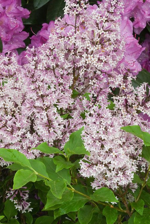 Syringa pubescens subsp. patula 'Miss Kim' shrub lilac in spring bloom