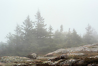 Pine trees in misty weather, Acadia NP, Maine, USA.