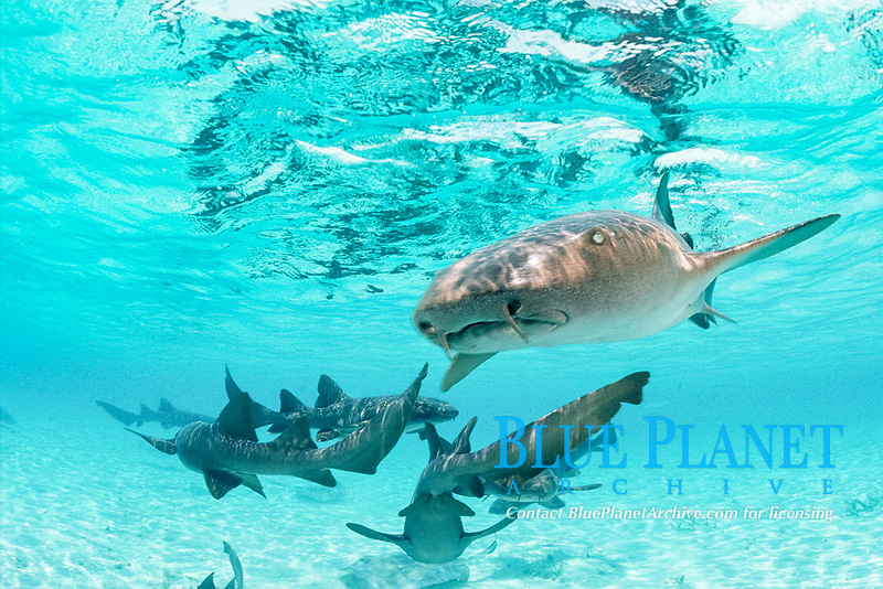 nurse sharks, Ginglymostoma cirratum, Belize, Central America, Caribbean Sea, Atlantic Ocean