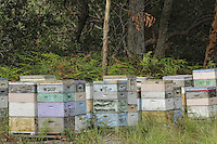 An apiary in the shade of the eucalyptus///Un rucher à l'ombre d'eucalyptus