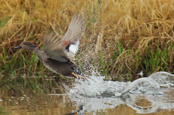 Gadwall drake (Anas strepera) taking flight.  Pacific Northwest.  March.