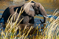 African bush elephant, African savanna elephant, Loxodonta africana, bathing in steams, Chobe National Park, Botswana