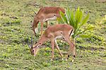Impalas At Lake Bunyonyi Eco Resort