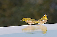 The Japanese White-eye (Zosterops japonicus)is a species native to the Japanese islands, it has been depicted in Japanese art on numerous occasions, and historically was kept as a cage bird. Introduced to Hawaii in 1929 as a means of insect control, it has since become a common bird on the Hawaiian Islands, and has become a transmit for avian parasites that are now known to adversely affect populations of native birds such as Hawaiian honeycreepers, as well as spreading invasive plant species through discarded seeds.