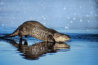 River Otter walking on ice near edge of open water in pond.  Western U.S., winter.