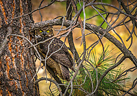 Photograph of a Great Horned Owl with big yellow eyes hiding amongst the tress in British Columbia Canada.
