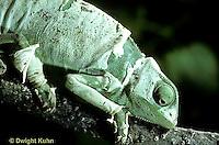 CH09-008z  African Chameleon - molting skin - Chameleo senegalensis