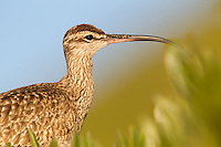 whimbrel (Numenius phaeopus), east beach santa barbara, eating insects out of iceplant