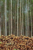 Corte de Eucalipto,  gênero de arbustos ou árvores de grande porte, da família das mirtáceas, usado  para plantio de extensas áreas de espécie para posterior produção de de papel e celulose  (grupo Orsa).<br />A fábrica da Jarí em local próximo,  onde é beneficiada a madeira, foi construída em cima de uma balsa e trazida por empurradores do Japão no final da década de 70 e instalada as margens do rio Jarí, fronteira do Pará com o Amapá.<br />Almeirim, Pará, Brasil.<br />Foto Paulo Santos/Interfoto<br />03/2005.