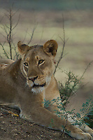 Close up of a LIon resting in the Okavango Delta, Botswana Africa
