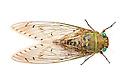 Cicada {Cicadoidea} photographed on a white background in mobile field studio in tropical rainforest. Maliau Basin, Sabah, Borneo, Malaysia. May 2011.