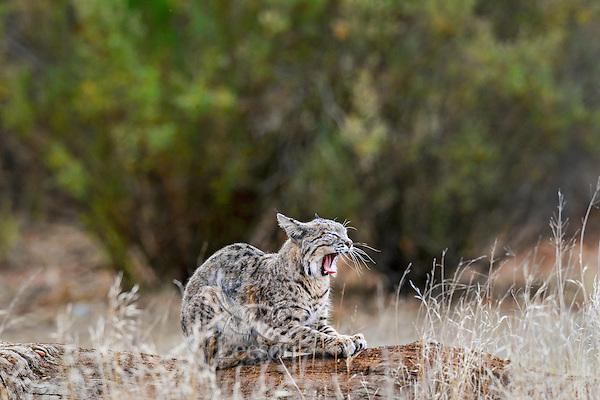 Wild Bobcat (Lynx rufus) yawning.  California.  Late Winter.  (Completely wild non-captive cat.)