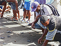 local people help in conservation efforts for leatherback sea turtle hatchlings, Dermochelys coriacea, here they are lining up to race their hatchlings into the ocean, Dominica, Caribbean, Atlantic