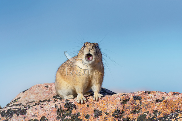 American pika (Ochotona princeps) calling.  Beartooth Mountains, Wyoming/Montana border.  Summer.  This photo was taken in alpine setting at around 11,000 feet (3350 meters) elevation.  Most Americans say PIE-ka, but the rest of the world says PEE-ka, and makes the case for PEE-ka because it is (obviously) onomatopoeic of the pika's call.  Pikas are vocal animals, and will use a sharp call or whistle to warn others of danger or to protect their territories from intrusion from other pikas.