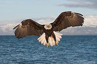Eagle flying toward viewer