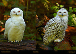 Snowy Owls, Male and Female, Arctic Owl, Great White Owl, Mount Ranier, Washington