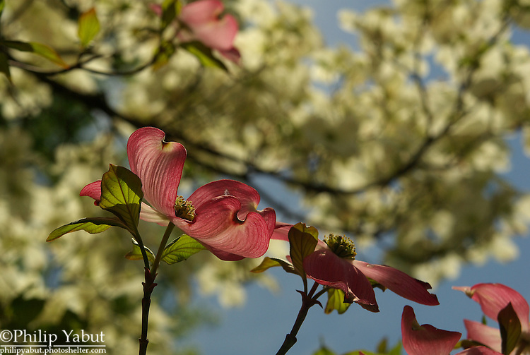 Virginia's state tree and flower is the flowering dogwood (aka American dogwood, <i>Cornus florida</i>, and the pink variety <i>Cornus florida rubra</i>).  This tree at Belle Haven Park has both pink and white blossoms.