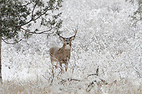 White-tailed Deer buck (Odocoileus virginianus) in snowstorm, Western U.S., Late Fall.