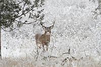 White-tailed Deer buck (Odocoileus virginianus) in snowstorm, Western U.S., Late Fall.