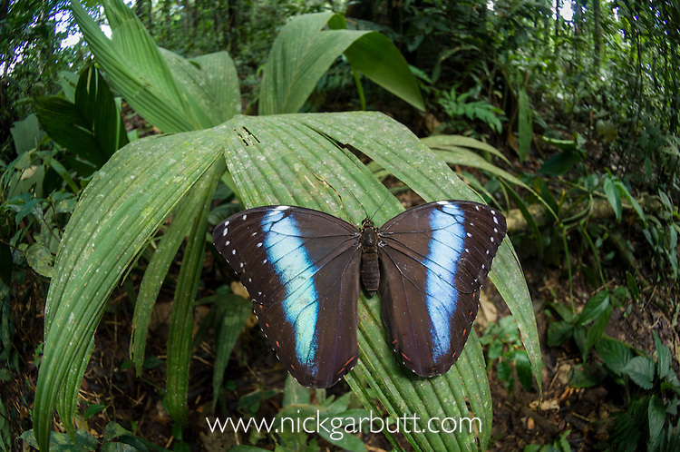 Blue Morpho Butterfly (Morpho sp.). Amazonia, Ecuador.