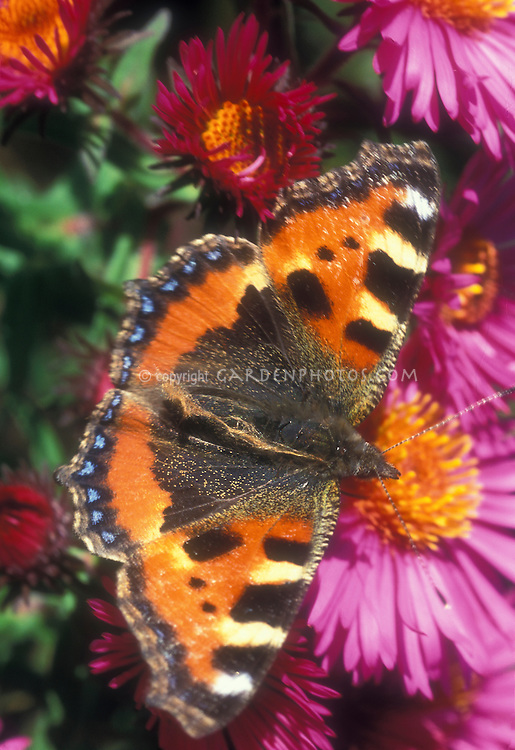 Butterfly Small Tortoiseshell Aglais urticae on Aster novi-belgii 'Purple Dome NY Aster flowers, garden insect UK England