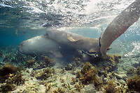 nurse sharks, Ginglymostoma cirratum, male pushing female prior to mating, Florida Keys, Florida, Atlantic Ocean