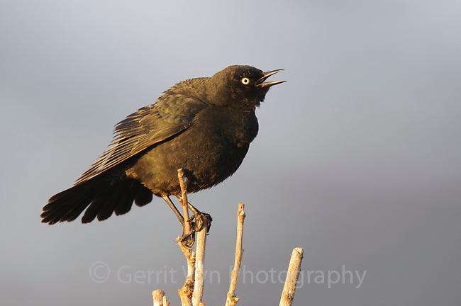 Singing adult male Rusty Blackbird (Euphagus carolinus) in breeding plumage. Seward Peninsula, Alaska. May.