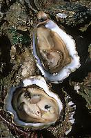 Europe/France/Pays de la Loire/85/Vendée/Ile de Noirmoutier: Huitres de Vendée atlantique