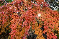 France, Allier (03), Villeneuve-sur-Allier, Arboretum de Balaine en automne, jeune tupélo noir (Nyssa sylvatica) dans le nouveau jardin