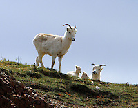 Two Dall sheep ewes and two lambs