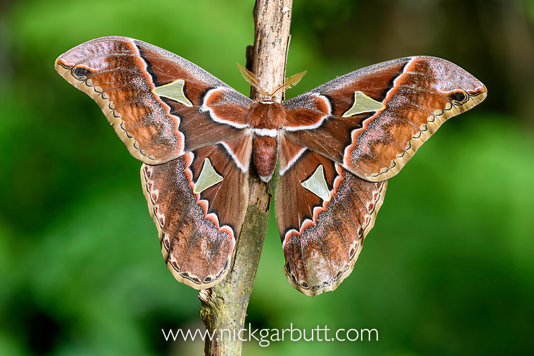 Adult giant silk moth (Rothschildia sp.) (Family: Saturniidae). Bosque de Paz mid elevation forest. Costa Rica.