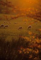Europe/France/Limousin/19/Corrèze/Plateau de Millevaches : Moutons au soleil couchant