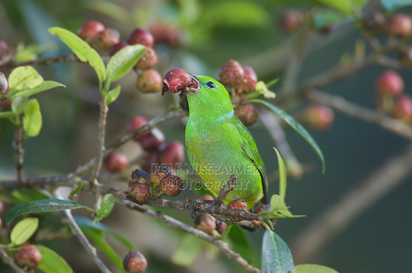 Golden-browed Chlorophonia, Chlorophonia callophrys, female eating on fig tree fruits, Bosque de Paz, Central Valley, Costa Rica, Central America