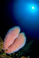 Azure vase sponge, Callyspongia plicifera, Saba, Netherlands Antilles, Caribbean Sea, Atlantic, Atlantic