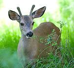 Yosemite Deer - 2011
