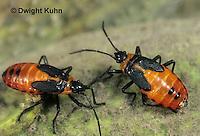 HE05-035z Large Milkweed Bug Nymphs on milkweed seed pod, Oncopeltus fasciatus